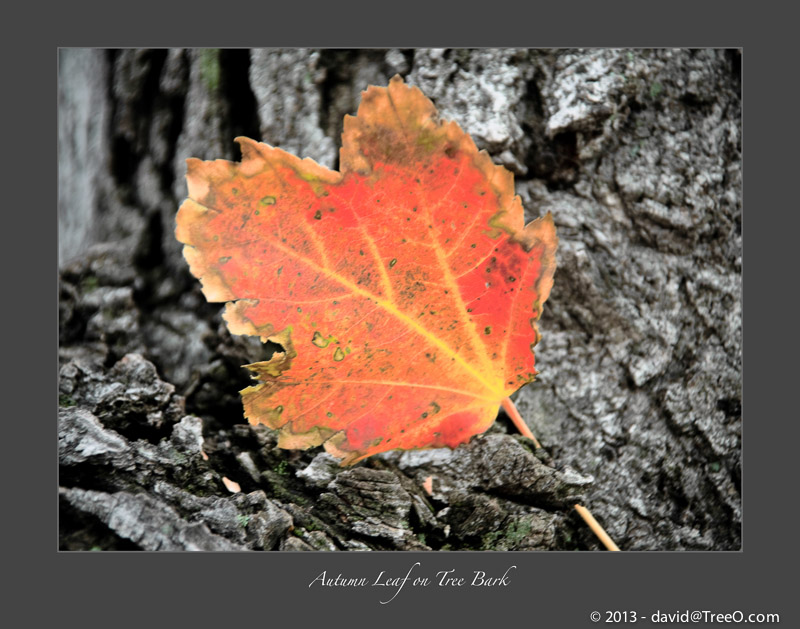 Autumn Leaf on Tree Bark