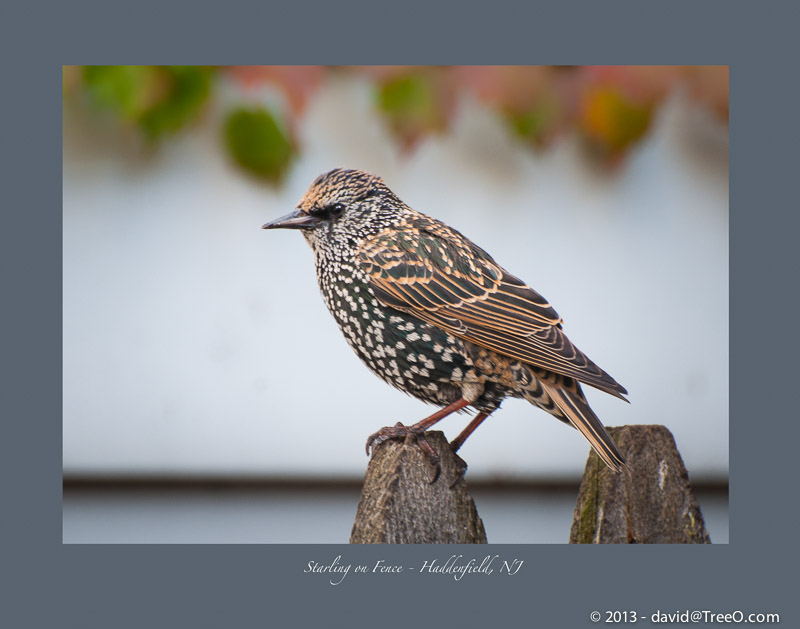 Starling on Fence