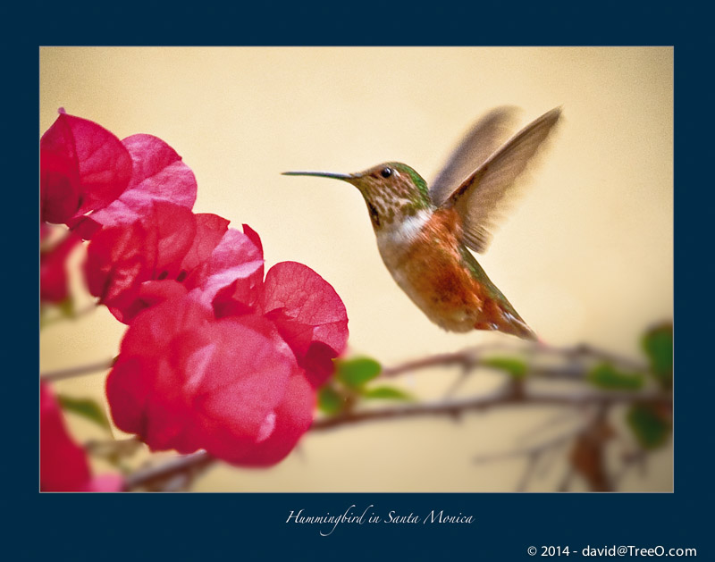 Hummingbird in Santa Monica