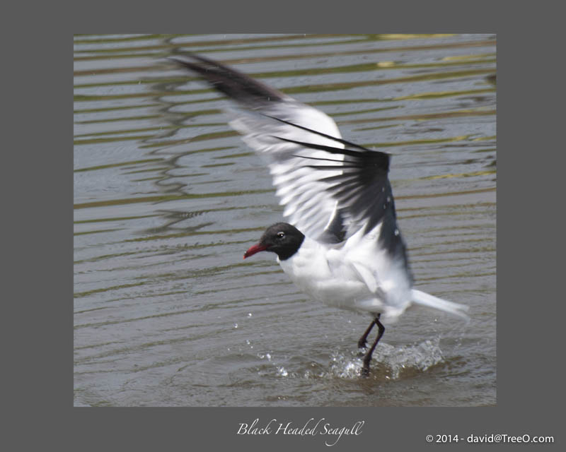 Black Headed Seagull