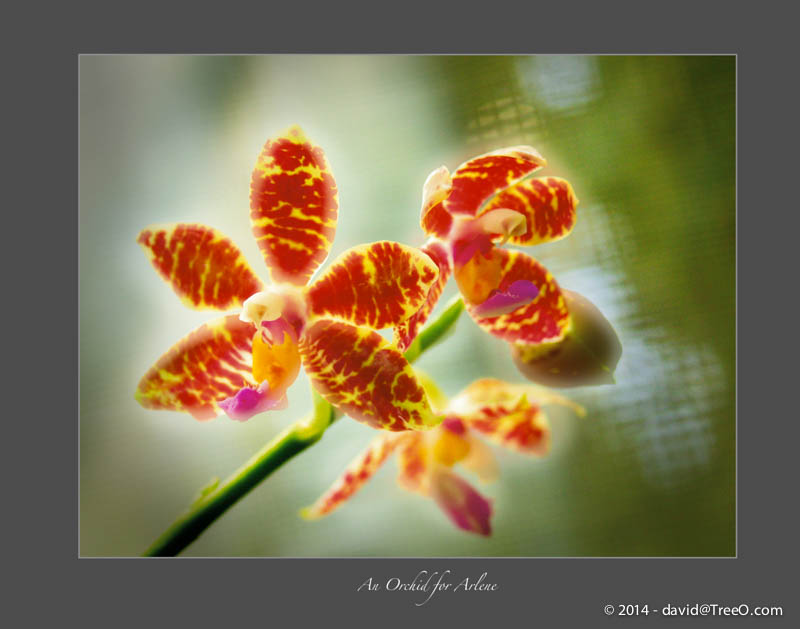 An Orchid for Arlene