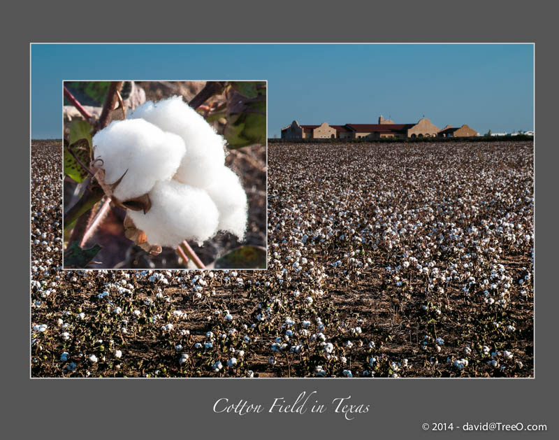 Cotton Field in Texas