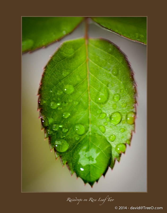 Raindrops on Rose Leaf Two