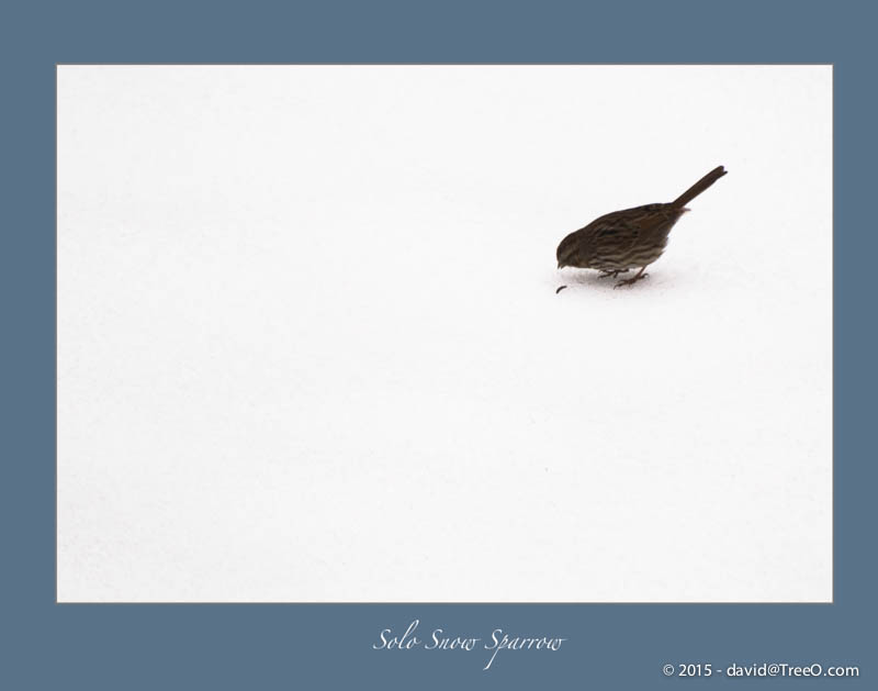 Solo Snow Sparrow
