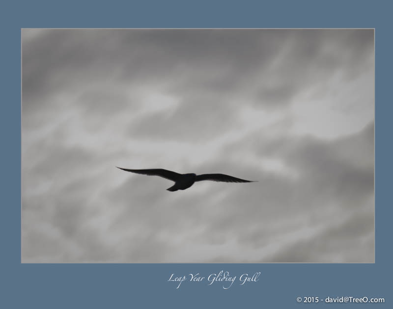 Leap Year Gliding Gull