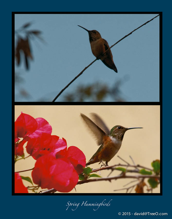 Spring Hummingbirds