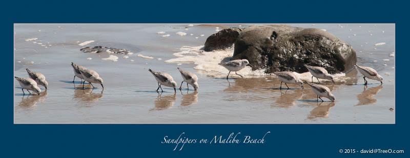 Sandpipers on Malibu Beach