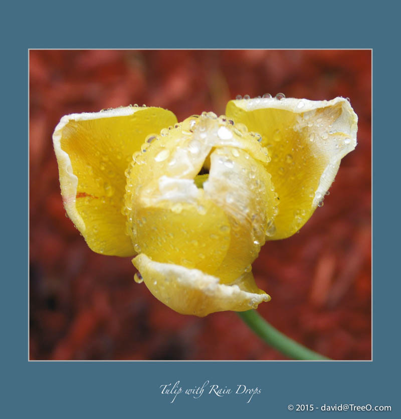 Tulip with Rain Drops